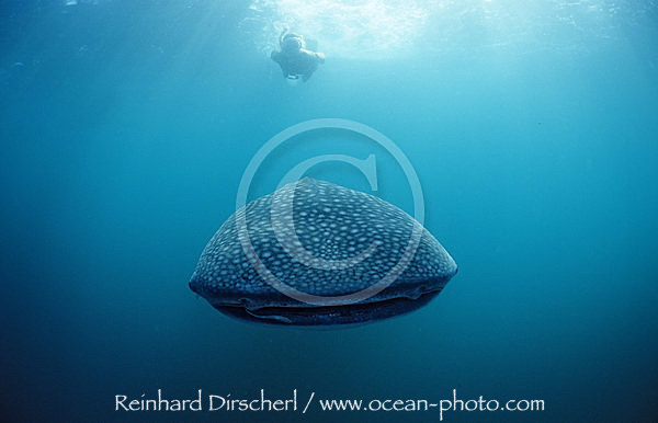 Female snorkeler swims with Whale shark, Rhincodon thypus, Indian Ocean, Seychelles, Africa