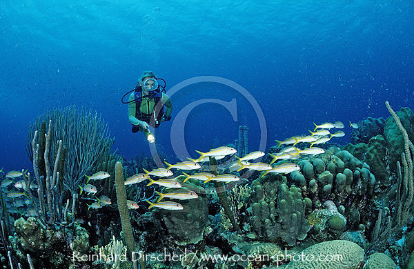 Scuba diver and Yellow Goatfishes, Mulloidichthys martinicus, Caribbean Sea, Netherlands Antilles, Bonaire
