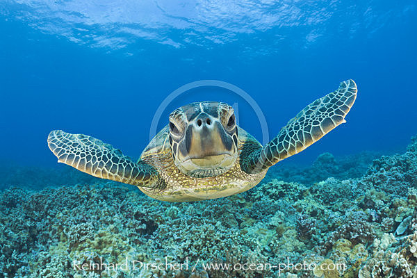 Green Turtle, Chelonia mydas, Maui, Hawaii, USA