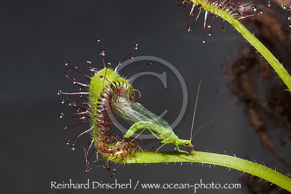 Sundew, Carnivorous Plant trapping Green Lacewing, Drosera scorpioides, Chrysoperla carnea, Munich, Bavaria, Germany