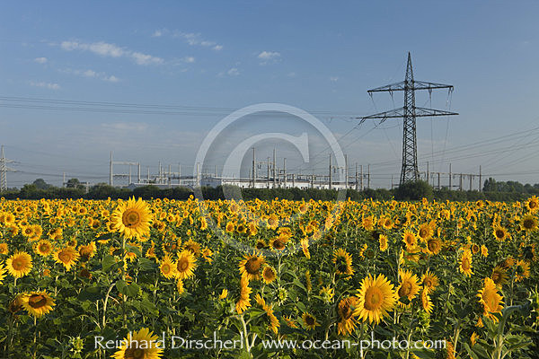 Sunflower Field near Electricity Pylons, Helianthus annuus, Munich, Bavaria, Germany