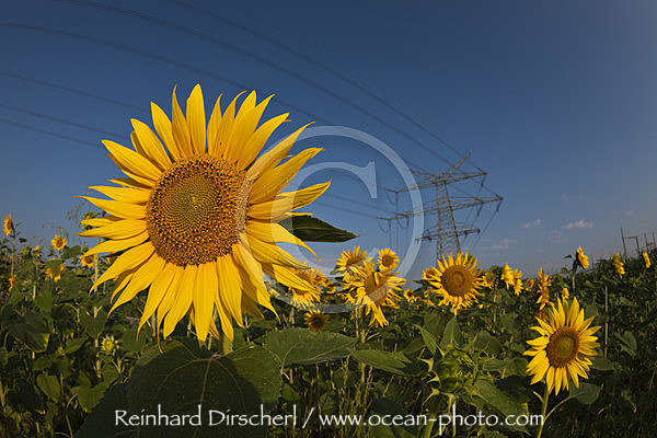 Power Lines over Sunflower Field, Helianthus annuus, Munich, Bavaria, Germany