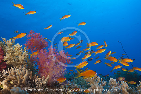 Harems-Fahnenbarsche am Riff, Pseudanthias squamipinnis, St. Johns, Rotes Meer, Aegypten
