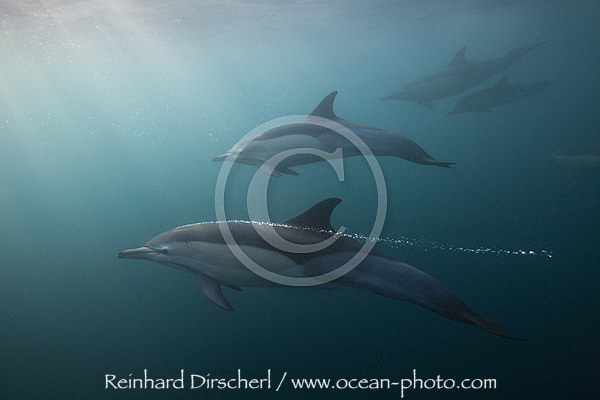 Common Dolphin, Delphinus capensis, Indian Ocean, Wild Coast, South Africa