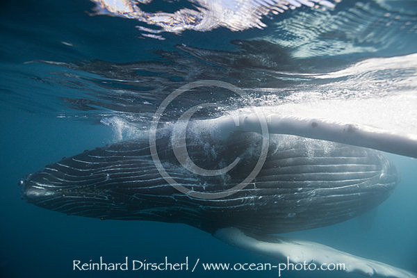 Humpback Whale, Megaptera novaeangliae, Socorro Revillagigedo Islands, Mexico