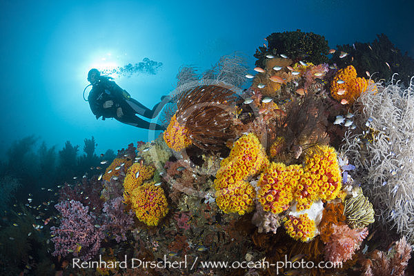 Scuba Diver and colored Coral Reef, n/a, Triton Bay, West Papua, Indonesia