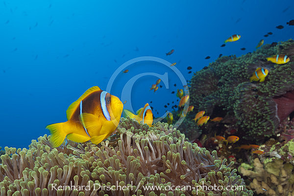 Rotmeer-Anemonenfische im Riff, Amphiprion bicinctus, Rotes Meer, Ras Mohammed, Aegypten