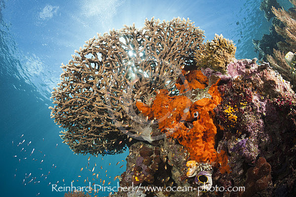 Table Coral in Coral Reef, Acropora sp., Raja Ampat, West Papua, Indonesia