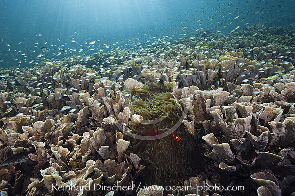 Hard Coral Colony, Echinopora pacificus, Raja Ampat, West Papua, Indonesia