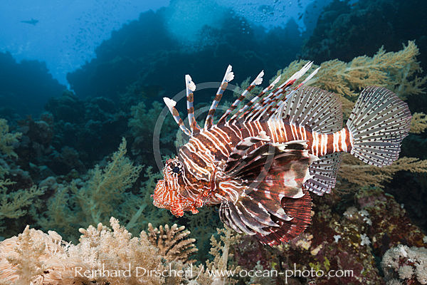 Indischer Rotfeuerfisch, Pterois miles, Brother Islands, Rotes Meer, Aegypten