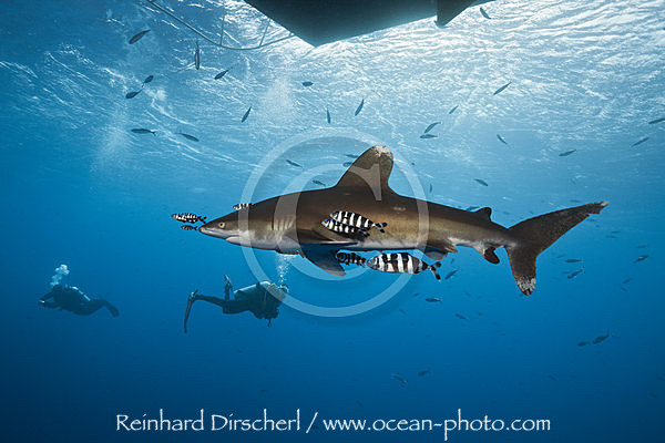 Oceanic Whitetip Shark below Liveaboard, Carcharhinus longimanus, Brother Islands, Rotes Meer, Aegypten